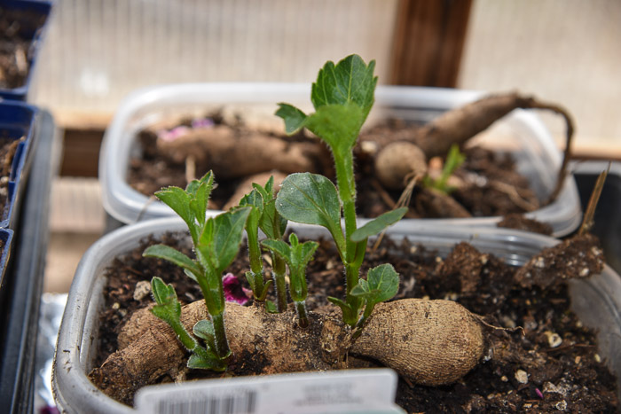 Dahlia sprouts for cutting