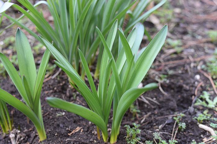 Allium leaves