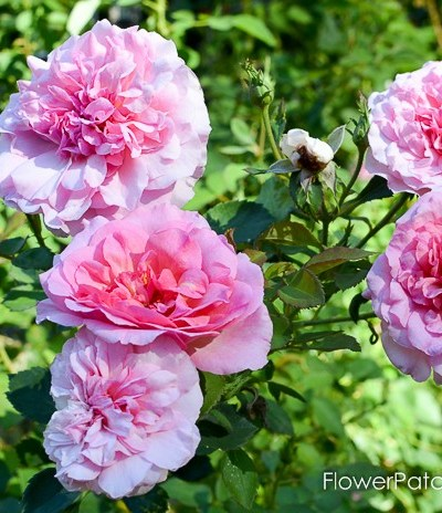 Hyde Hall DAR, English rose additions to my garden
