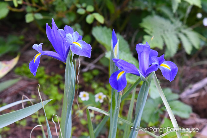 Dutch Iris, Garden Journal May 17th and 24th