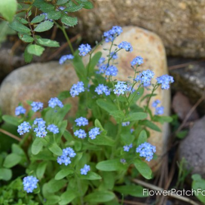 Forget me Nots, Garden Tour May 6 2018