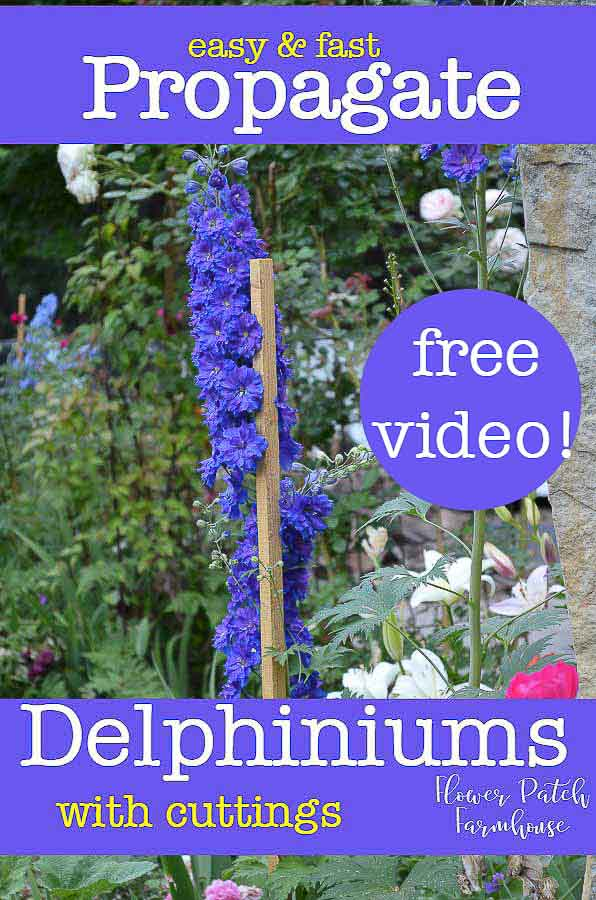 Easy and fast way to Propagate Delphiniums with cuttings. Nothing fancy but a sure way to get more of the colors you love! I also have video available