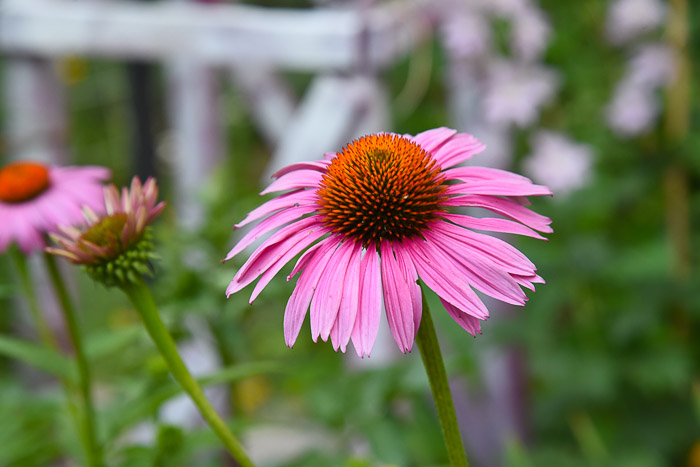 Echinacea Purple Coneflower, FlowerPatchFarmhouse.com