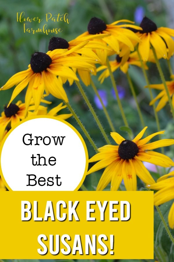 Rudbeckia, Black Eyed Susans with text overlay, grow the best black eyed susans, flower patch farmhouse