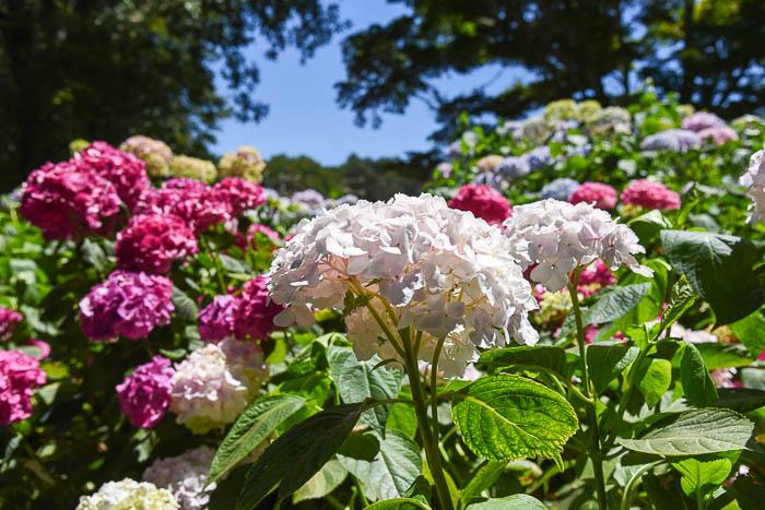 Hydrangeas at Filoli Garden