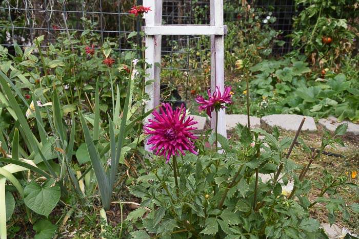 Cactus Dahlia, August 27 garden journal FlowerPatchFarmhouse