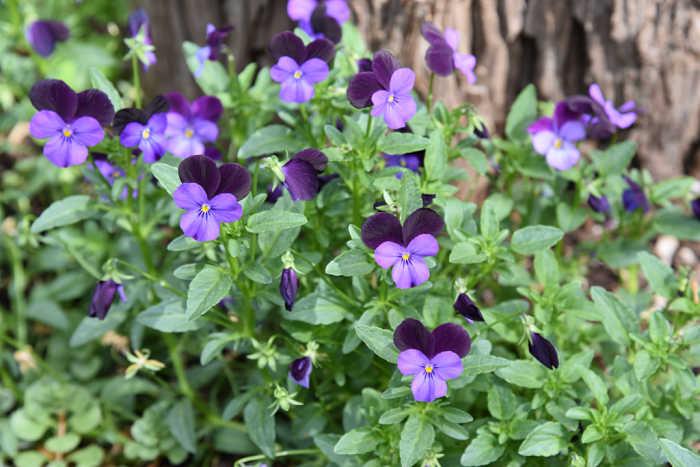 Violas, FlowerPatchFarmhouse garden journal