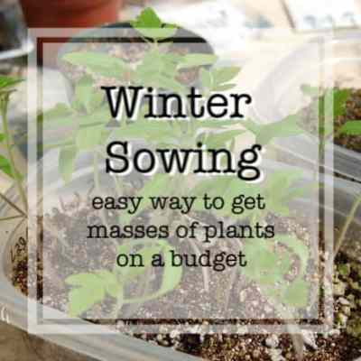 winter sown seedlings with text overlay
