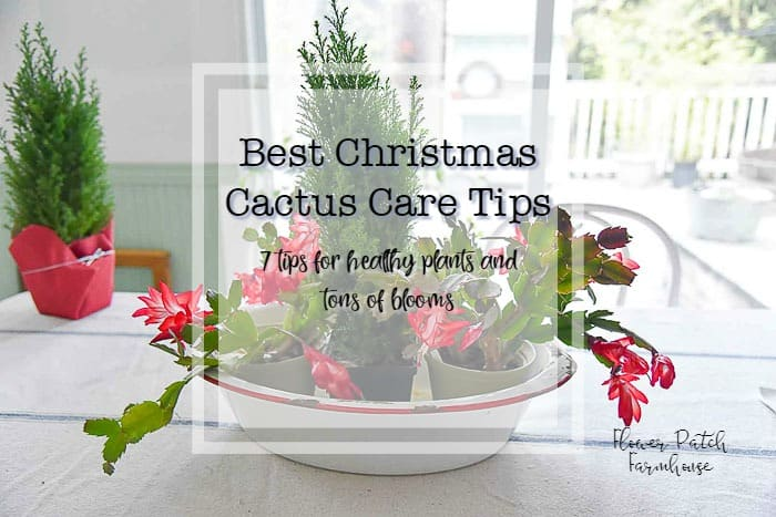 How To Care For Christmas Cactus.Best Christmas Cactus Care Tips Flower Patch Farmhouse