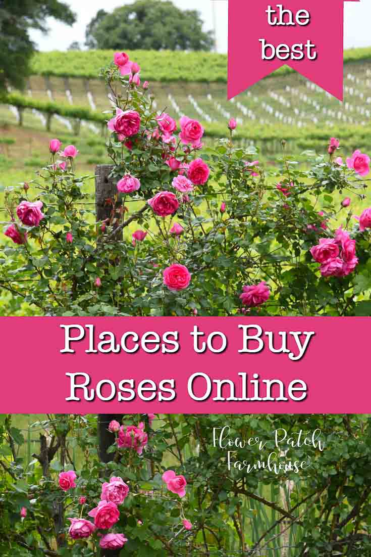 Bright Pink rose climbing on fence, best places to buy roses online, flowerpatchfarmhouse.com