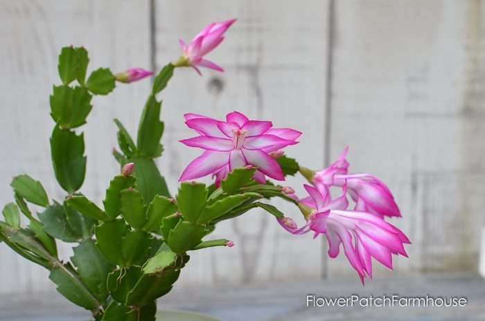 Thanksgiving Cactus blooming in Pink and White, FlowerPatchFarmhouse.com