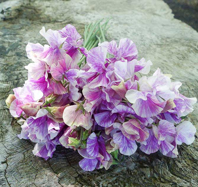 bouquet of sweet peas, easy sweet peas you can grow, FlowerPatchFarmhouse.com