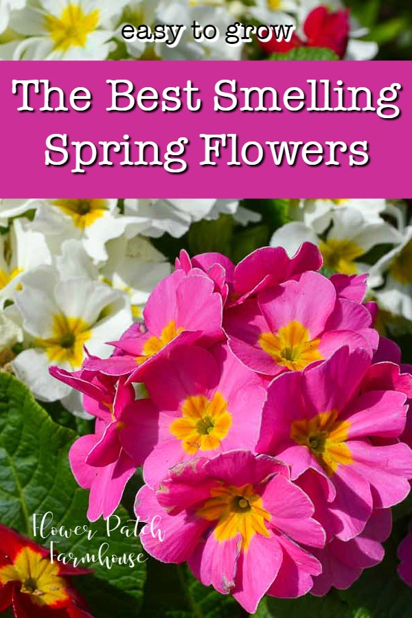 Primroses with text overlay, the best smelling spring flowers, flower patch farmhouse