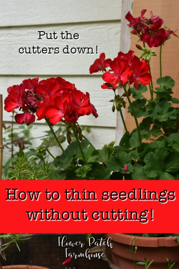 red geraniums with text overlay, How to thin seedlings without cutting!, Flower Patch Farmhouse
