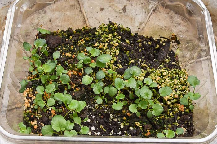 plastic tub of pansy seedlings ready to thin and pot up