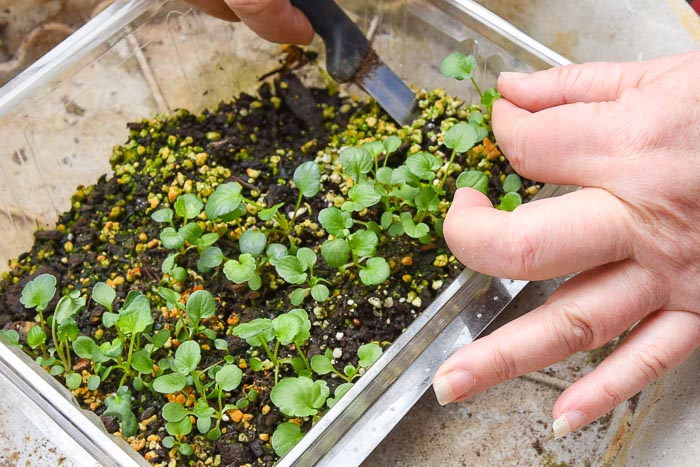 pansy seedling being lifted out of growing container to be transplanted