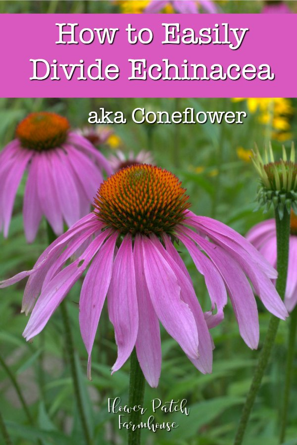 Purple coneflower with text overlay, easily divide echinacea aka coneflower, flower patch farmhouse