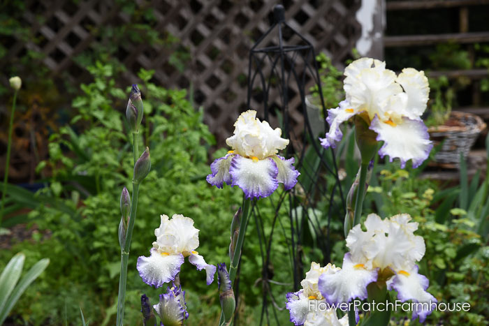 bearded iris, plant your garden for continuous blooms