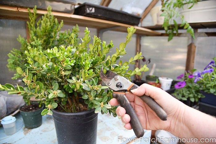 Using a pruner propagate boxwood cuttings in nursery pot