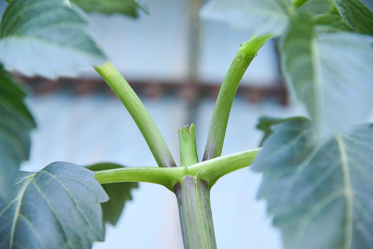new growth on pinched back dahlia plant