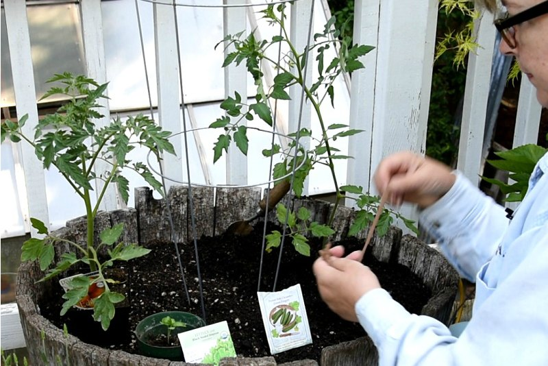 Using panty hose strips to tie up tomatos to support, How to plant a container salad garden