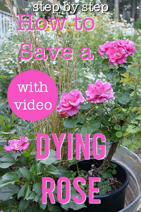 Pink blooming rose with text overlay, Save a dyring rose with video, flower patch farmhouse