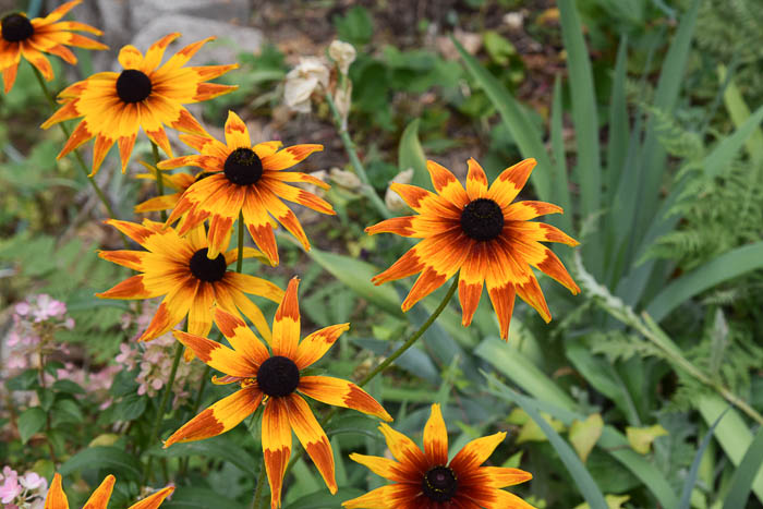 Bright multi colored rudbeckia