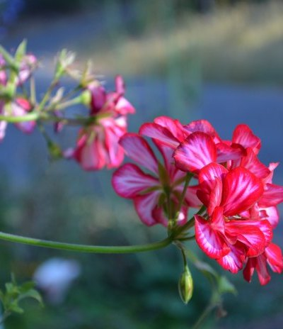 how to overwinter geraniums, ivy geranium