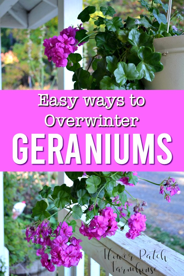 ivy geranium with text overlay, easy ways to overwinter geraniums