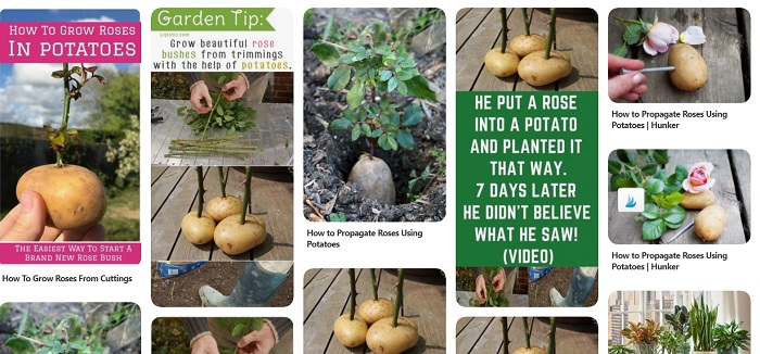 Pinterest collage roses in potatoes