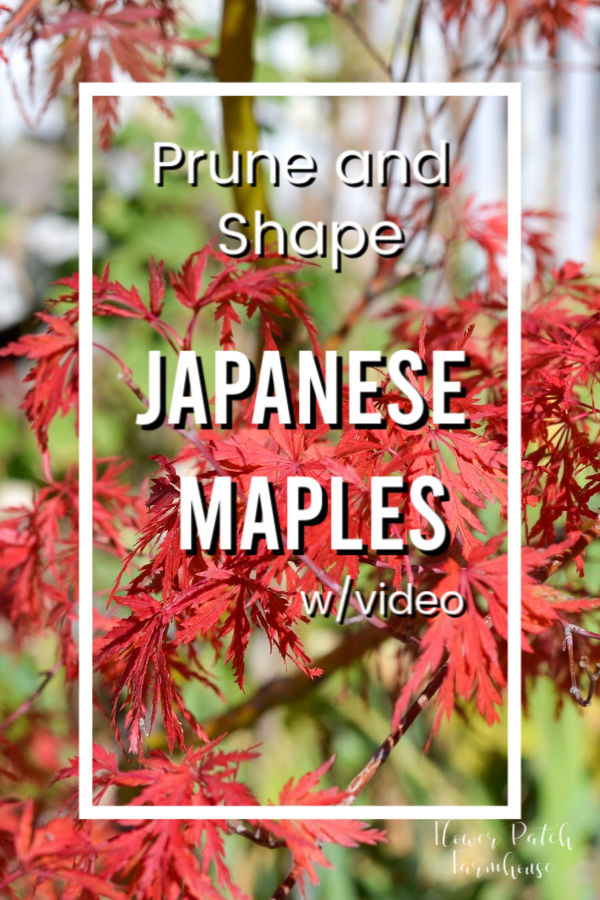 Red Japanese Maple tree with text overlay, Prune and Shape Japanese Maples w video