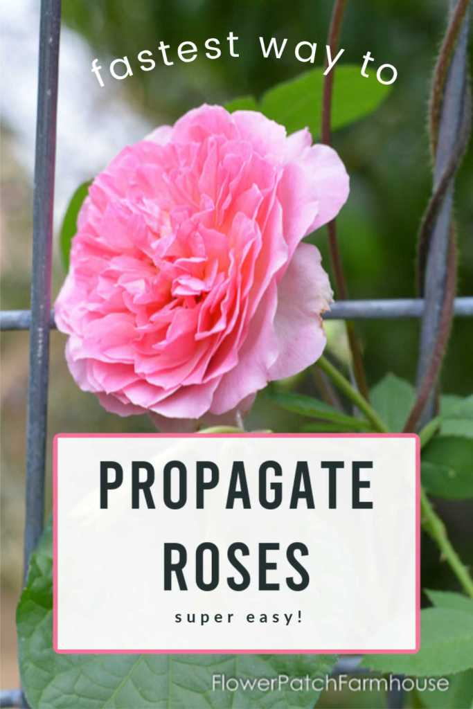 Pink roses on trellis with text overlay, fastest way to Propagate Roses, super easy