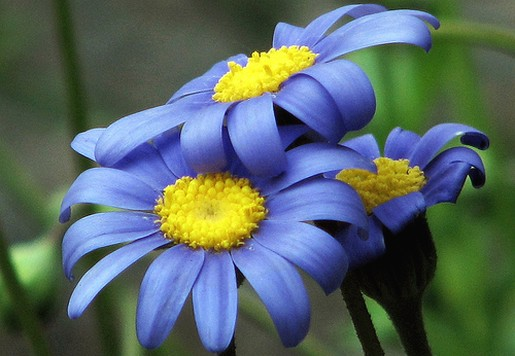 blue daisy flowers with