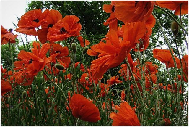 red field of poppies flowersjpg HiRes 720p HD