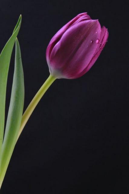 purple tulip wedding flower picturejpg