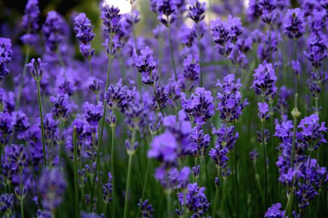 Early Fall Hd Wallpaper Bright Purple Flowers Lavender Jpg 2 Comments Hi Res 720p Hd