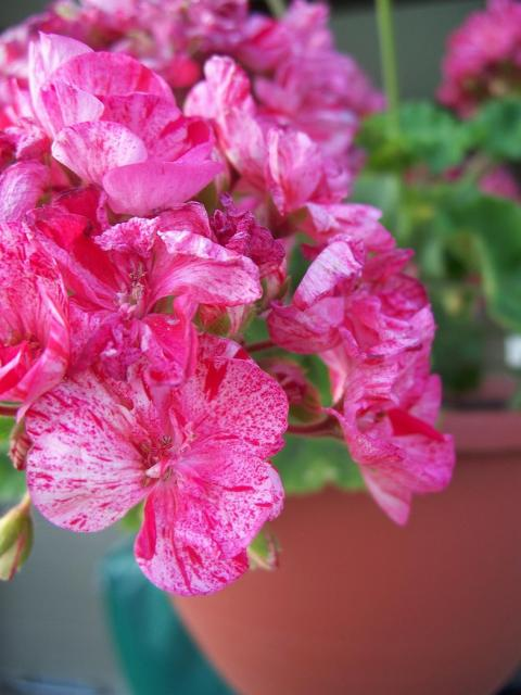 Pretty Pink Annual Flowers Photo Jpg Hi Res 720p Hd