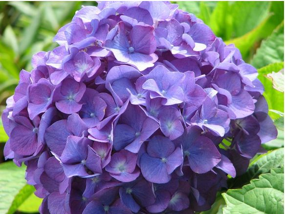 hydrangea flowers images 104