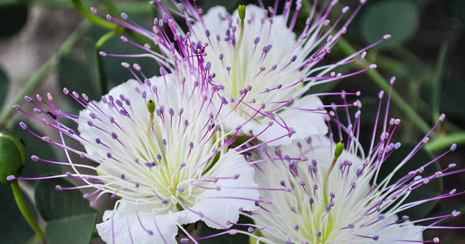 Check out these 10 flowers with secret meanings and decode your gift! Caper Flowers-cs