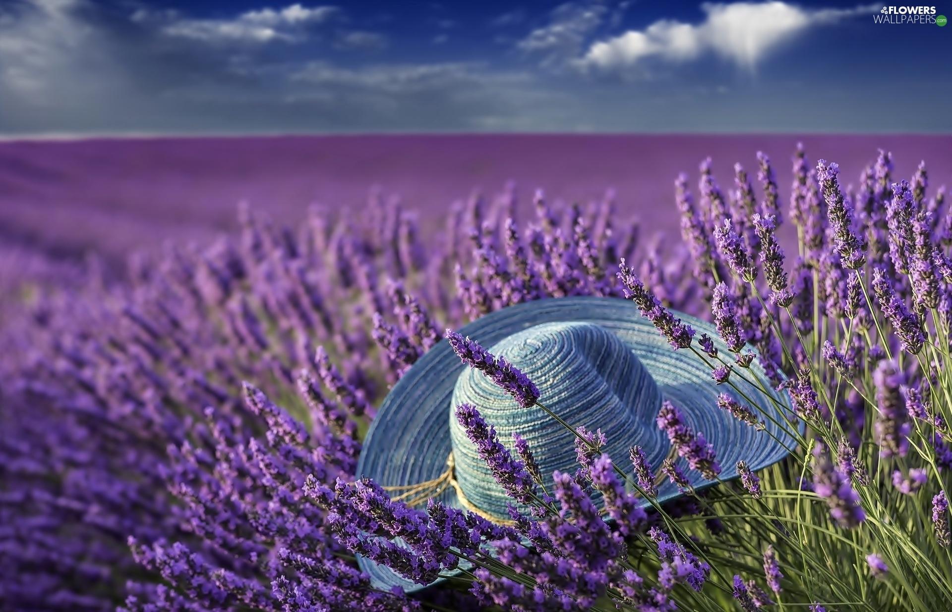 Hat Field lavender  Flowers wallpapers 1920x1236