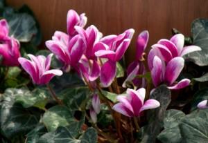 Cyclamen information from Flowersorguk