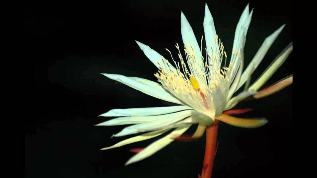 Kadupul flower
