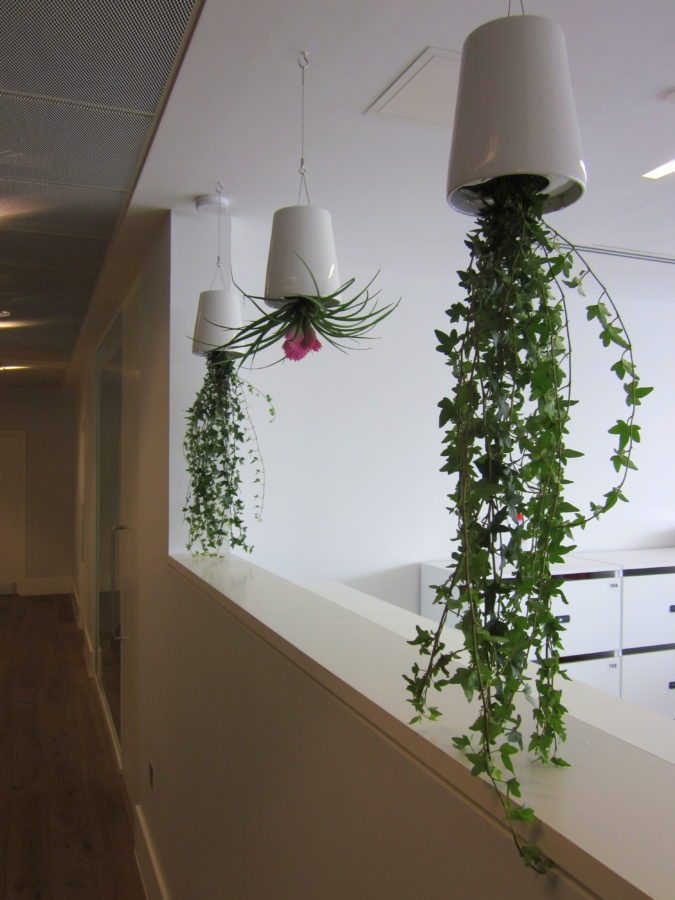 Hanging Office Plants