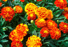 Marigold Seeds For Sale Buy In Bulk Or By The Packet