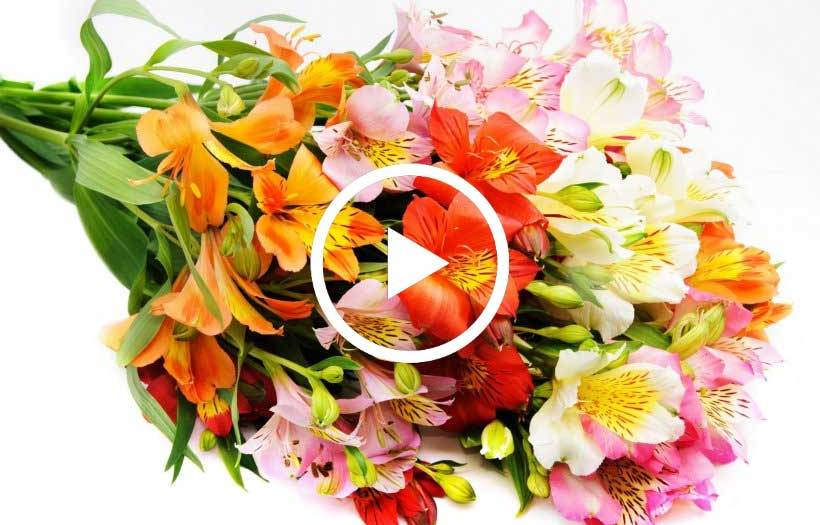 alstroemeria care