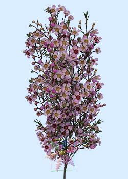 Waxflower Flower Information  Waxflower Cut Flower  Flower Shop Network