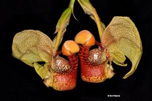 Coryanthes