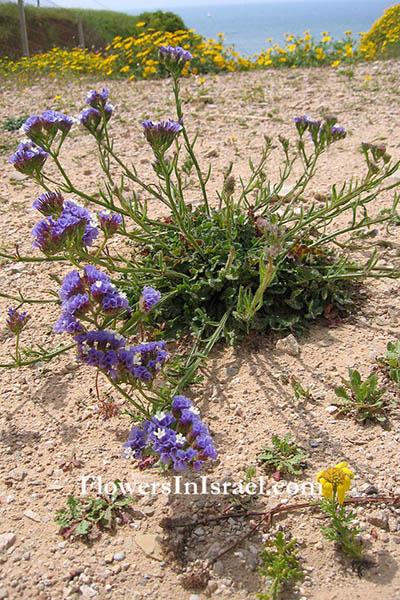 Israel wildflowers CutLeaf SeaLavender