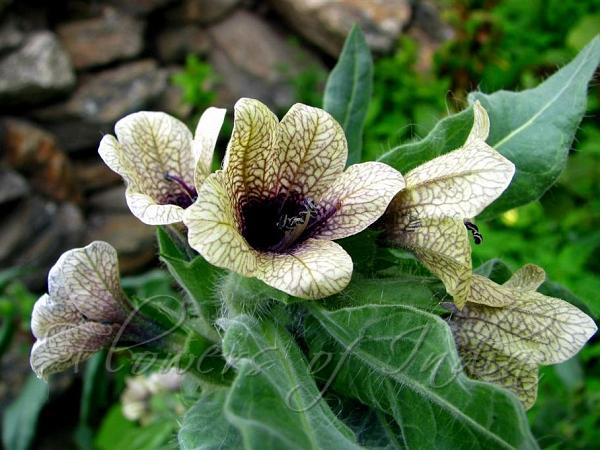 Image result for henbane plant pictures