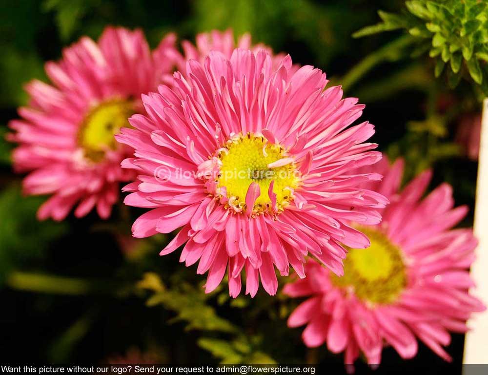 Cute Flowery Wallpaper Aster Pink Banglore Flower Show Jan 2013
